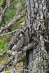 Hawk owls, Yellowknife region, Northwest Territories, Canada