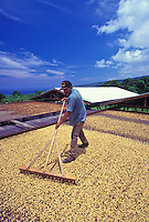 Man raking Kona coffee beans drying in the sun, Greenwell Farms, Kealakekua