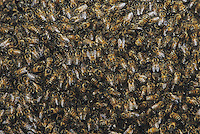 Honey Bee (Apis mellifera), hive, Rio Grande Valley, Texas, USA