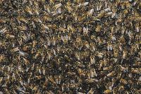 Honey Bee (Apis mellifera), hive, Rio Grande Valley, Texas, USA
