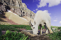Mountain Goat,Oreamnos americanus, adult with summer coat licking minerals, Glacier National Park, Montana, USA, July 2007
