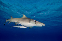 Pregnant Lemon shark. Negaprion brevirostris.