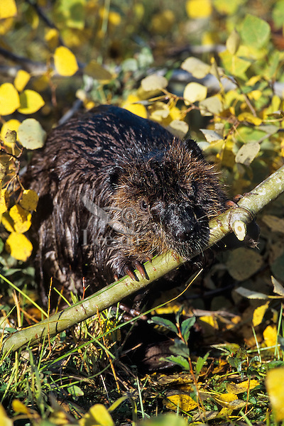 North American Beaver (Castor canadensis) chewing on aspen branch.