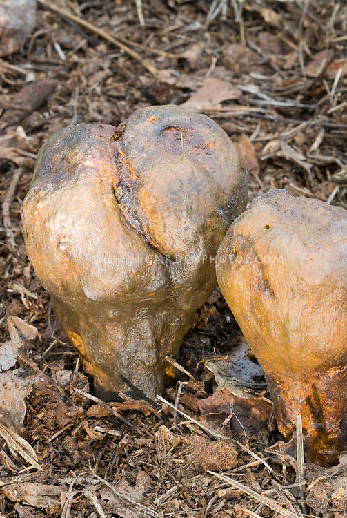 Pisolithus arrhizus aka P. tinctorius (very Rare mushroom) fungi growing wild. Inedible, commonly called Dog Turd Mushroom, useful dye plant for dyeing wool