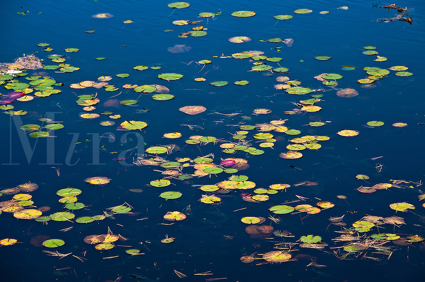 Lilly pands in pond.