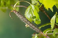 Kleine Pappelglucke, Raupe frisst an Birke, Herbstglucke, Poecilocampa populi, December moth, caterpillar, Le Bombyx du peuplier, Glucken, Lasiocampidae
