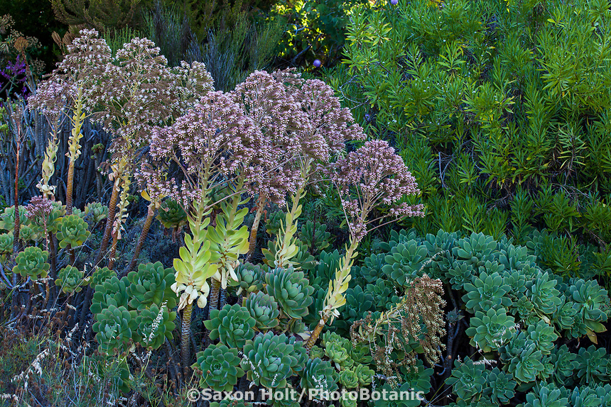 Aeonium palmense succulent in University of California Berkeley Botanical Garden