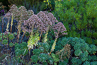 Aeonium palmense succulent in University of California Berkeley Botanical Garden