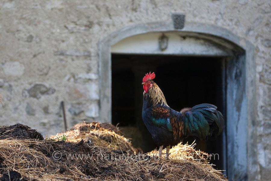 """Hahn auf einem Misthaufen, """"Der Hahn kräht auf dem Mist"""", Hühner, Huhn, Haushuhn, Landidylle"""