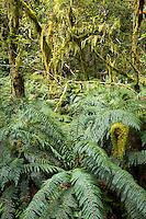 Rainforest on Routeburn Track, Fiordland National Park, Southland, UNESCO World Heritage Area, New Zealand, NZ