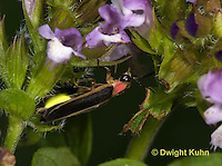 1C24-694p   Pyralis Firefly - Lightning Bug - Male - Photinus spp.