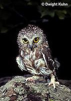 OW02-016b  Saw-whet owl - Aegolius acadicus