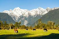 Farmland near Lake Matheson and Fox Glacier village  with Mt. Tasman and Aoraki Mt. Cook in background, Westland Tai Poutini  National Park, West Coast, New Zealand, NZ