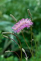 Sanguisorba hakusanensis, early August. Commonly known as Korean burnet, sometimes as Lilac Squirrel.