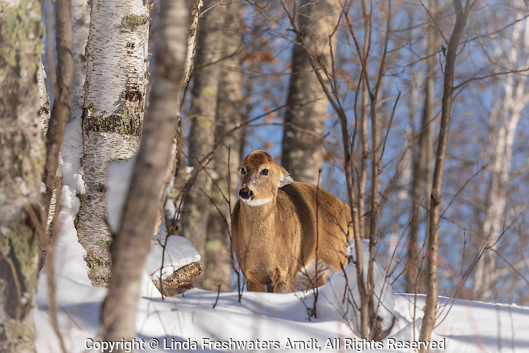 White-tailed doe giving the hard stare.