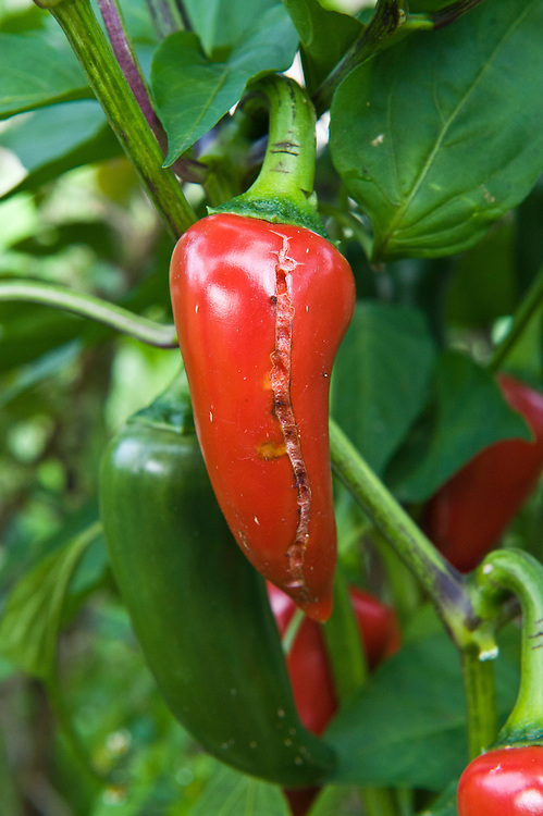 A split in the skin of this 'Fresno' chilli pepper caused by irregular watering.