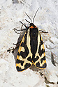 Wood Tiger moth (Parasemia plantaginis) Derbyshire, UK. June.