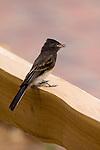 BLACK PHOEBE, SAYORNIS NIGRICANS, BIRD