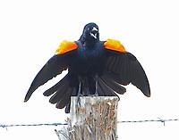 Red-winged blackbird displaying