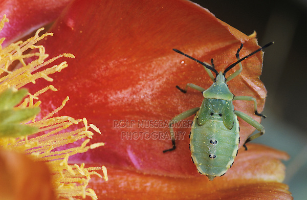 Stink Bug, Pentatomidae, young on blossom of Texas Prickly Pear Cactus (Opuntia lindheimeri) , Starr County, Rio Grande Valley, Texas, USA, May 2002