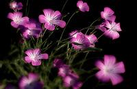 Close up of Agrostemma 'Milas'. Oregon
