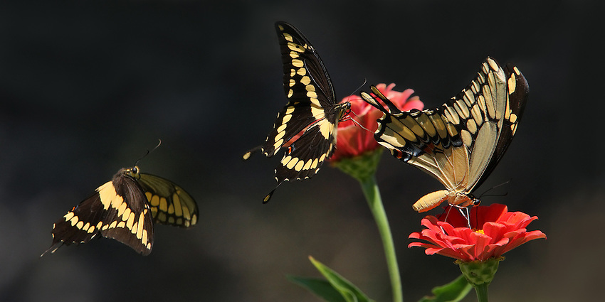 Three Giant Swallowtails in focus, two in flight.
