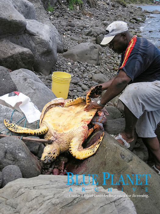 local fishermen cutting up a hawksbill sea turtle, Eretmochelys imbricata, after it has been killed by gaffing illegally in marine reserve, Dominica, Caribbean, Atlantic