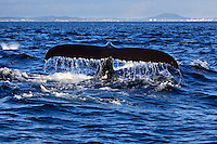 Humpback Whale (Megaptera novaeangliae) raising its tale to dive   in Juan de Fuca Strait off Victoria, British Columbia, Canada.