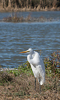 Great Egret, Ardea alba, standing in wind at Colusa National Wildlife Refuge, California
