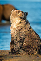 We'd love to hear what the bears are actually thinking while we photograph them.  Here the female yearling Brown Bear (Ursus arctos) cub flashes a very unusual look at the photographer, who immediately checked to see whether his fly was open.  Lake Clark National Park, Alaska.