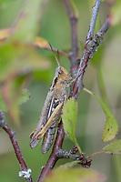 Nachtigall Grashüpfer, Nachtigall-Grashüpfer, Weibchen, Chorthippus cf. biguttulus, Stauroderus cf. biguttulus, Chorthippus cf. variabilis, bow-winged grasshopper, female, le Criquet mélodieux