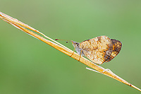 A dew covered Pearl Crescent butterfly (Phyciodes tharos) perches on its overnight roost on a plant stem early in the morning.