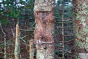 A softwood tree that once had a wooden trail sign attached to it on the summit of Mount Tecumseh in Waterville Valley, New Hampshire.