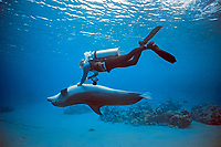 scuba diver interacting and scratching Bottlenose Dolphin ( Tursiops truncatus ), Dolphin Reef, Eilat, Israel - Red Sea.