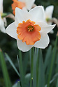 Narcissus 'Chromacolor', mid April. A a large-cupped daffodil with white petals surrounding a pinkish-orange trumpet.