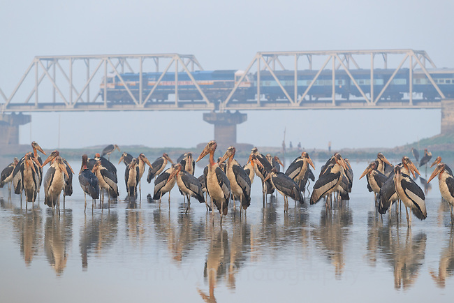 Greater Adjutants roosting at dawn in the Deepor Beel Wetlands. As human populations have expanded over the last century, the adjutant's ability to find food, survive, and reproduce has been steadily and severely impacted over their historic range. Wetlands critical for feeding have been widely converted to agriculture, over-fished, degraded, and polluted. Guwahati, Assam, India.