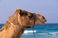 Camel, Dubai. UAE.  Camelus Dromadarius.