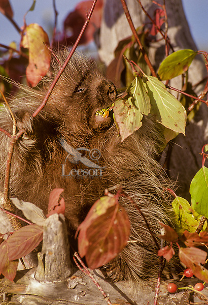 Young Porcupine (Erethizon dorsatum) feeding on mountain ash.  Montana.  Fall.  Probably about 4 to 5 months old.