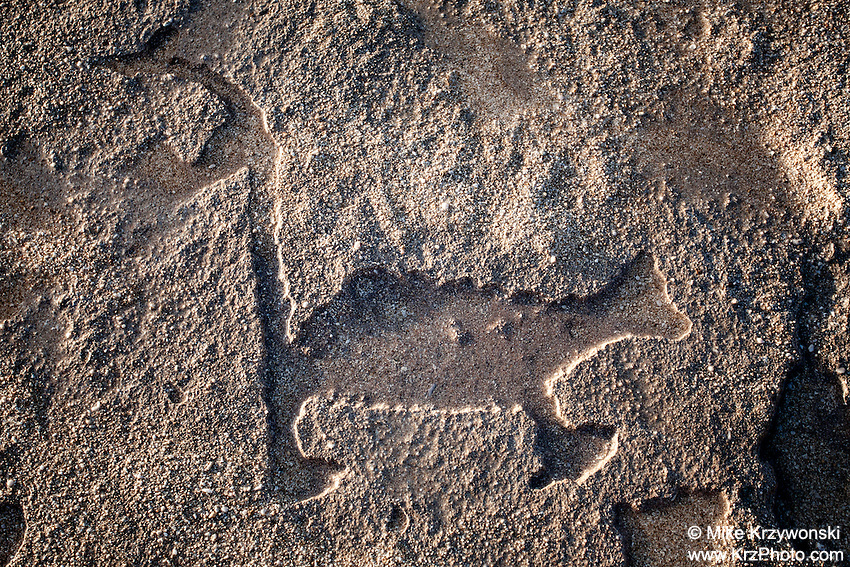 Hawaiian dog petroglyph  (normally under the sand) near the shoreline at Keiki Beach, North Shore, O'ahu.