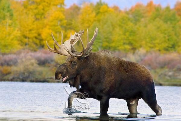 Bull Moose (Alces alces) calling durning fall rut.  Western U.S.