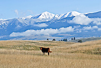 Cow swishing it's tail out on the plains of the Tobacco Valley, Montana. Snow-capped Mt. Baldy, British Columbia, stands in the background. White billowy clouds float idly by.