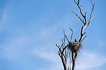 Escondido, California; a pair of bald eagle chicks, or eaglets, in their nest, built within the branches of a dead tree, early on a partly sunny morning