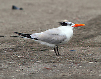 Royal tern in non-breeding plumage in July