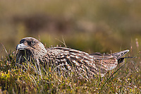 Great Skua (Catharacta skua) at the bird-island Runde, Møre og Romsdal, Norway.