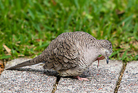 Inca Dove, Columbina inca, scratches its face in the gardens of the Hotel Bougainvillea, Santo Domingo de Heredia, Costa Rica