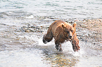 A brown bear on the run at the McNeil River Falls,  in Alaska's McNeil River State Game Sanctuary.