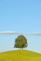 Linden tree (Tilia sp.), tree in summer, Switzerland, Europe