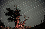 Star trails over Great Basin bristlecone pines (Pinus longaeva), Ancient Bristlecone Pine Forest, White Mountains, California, USA<br />