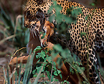 A leopard finds adequate cover to stalk his prey within the densely vegetated woodlands along the Samburu River in Kenya. Here, a large male leopard has just ambushed a young impala. He will quickly climb a tree, carrying the kill up and away from lions and hyenas.