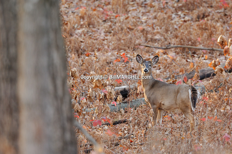 00275-192.11 White-tailed Deer (DIGITAL) button buck is in forest opening during fall.  Hunt, Hunting, prey, whitetail.  H3L1